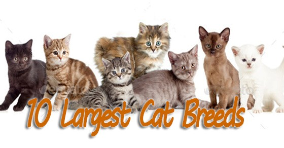 10 Largest Cat Breeds – These Felines Will Steal Your Heart in a BIG Way