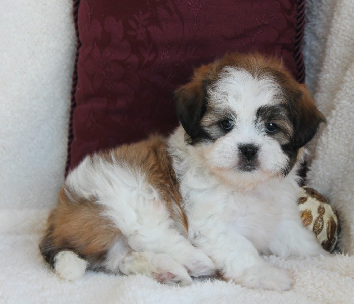Shih Poo can be different from each other depending on the kind of its poodle parent