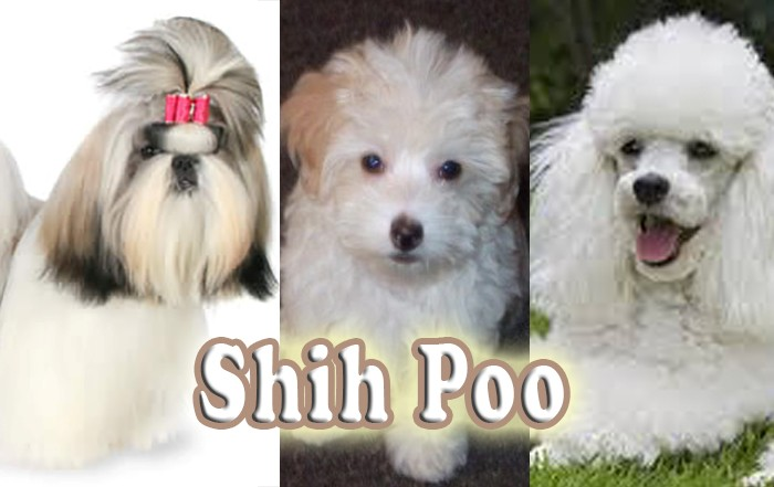 torn-between-shih-tzu-and-poodle-here-are-10-reasons-why-you-should-go-for-a-shih-tzu-poodle-mix